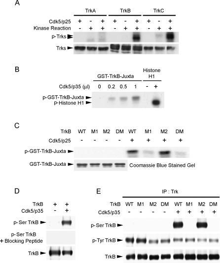 Cdk5 Phosphorylated TrkB at Ser478(A) Lysates from COS7 cells overexpressing TrkA, TrkB, and TrkC were immunoprecipitated with pan-Trk antibody and incubated with Cdk5/p25 in an in vitro kinase assay. TrkB and TrkC, but not TrkA, were phosphorylated by Cdk5/p25.(B) GST-TrkB-juxtamembrane fusion protein was incubated with increasing amount of Cdk5/p35 and subjected to an in vitro kinase assay. Histone H1 served as control to verify the activity of the Cdk5 kinase. The TrkB-juxtamembrane region was phosphorylated by Cdk5/p35 in a dose-dependent manner.(C) Purified WT GST-TrkB-juxtamembrane fusion protein and mutants (M1, M2, and DM) were incubated with Cdk5/p25 in an in vitro kinase assay. While WT and M2 were strongly phosphorylated by Cdk5/p25, phosphorylation of M1 and DM were markedly attenuated. Quality of the purified GST and GST-fusion proteins used in the GST pull-down assay was verified by Coomassie blue staining.(D) Characterization of p-Ser TrkB antibody raised against phosphorylated Ser478 of TrkB. TrkB was overexpressed with or without p35/Cdk5 in HEK293T cells. Preincubation of purified p-Ser478 TrkB antibody with blocking peptide completely abolished detection of Ser478 phosphorylation of TrkB.(E) Full-length TrkB WT, M1, M2, and DM were overexpressed with or without Cdk5/p35 in HEK293T cells. In the absence of Cdk5/p35, Ser478-phosphorylated TrkB (p-Ser TrkB) was not detected. Overexpression of Cdk5/p35 resulted in phosphorylation of TrkB WT at Ser478, but phosphorylation at Ser478 was essentially abolished when TrkB M1 and DM were overexpressed. IP, immunoprecipitation.
