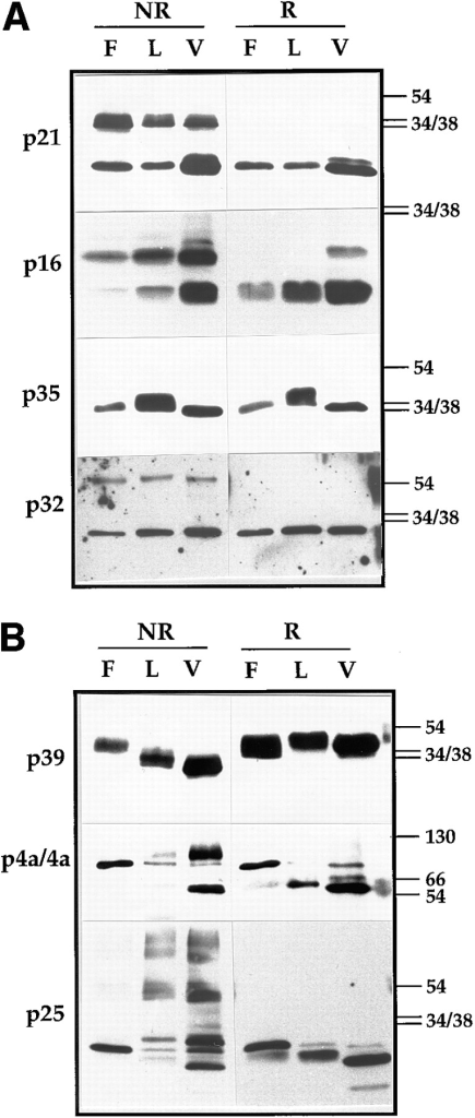 Western blots of vv  proteins analyzed under reducing and nonreducing conditions. In A analysis of four  IMV membrane proteins,  p21 (A17L), p16 (A14L), p35  (H3R), and p32 (D8L). Cell  lysates of infected HeLa cells  treated (F) or not treated (L)  with rifampicin or purified  virus (V) were run on 15%  SDS-PAGE. Before electrophoresis the samples were  boiled for 3 min in LSB with  (R) or without (NR) 5% β-ME  and 100 mM DTT. The proteins were detected by Western blotting using the respective antibodies. On the right  side of the figure the positions of the 54-, 38-, and 34-kD marker proteins is indicated. In B, three vv core  proteins 4a (A10L), p39  (A4L), and p25 (L4R) were  analyzed as described in A.  Note that in rifampicin-blocked cell lysates for both  4a and p25 only their precursor form (of 110 and 28 kD, respectively) can be detected that is  subsequently cleaved to the 65- and 25-kD mature forms, respectively, in the IMV. Some of the uncleaved form, can however,  still be detected in the isolated virions. The positions of the 130-,  66-, 54-, 38-, and 34-kD marker proteins are indicated on the  right.