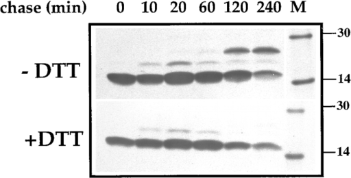 Disulfide bonding occurs posttranslationally. Infected  HeLa cells were pulse-labeled (0 min chase) for 2 min at 6 h after  infection and chased for the indicated time. Cell lysates were prepared and the p16 protein immunoprecipitated from them. The  samples were run on 15% SDS-PAGE after boiling for 3 min in  LSB with or without β-ME and DTT. The proteins were detected  by autoradiography. After the pulse only the monomeric p16 is  seen. After 60 min of chase the disulfide bonded dimer is detected as assessed by the absence of the 25-kD band when analyzed after reduction. The band migrating with a molecular mass  between the monomer and the dimer is a N-glycosylated form of  p16 that will be described elsewhere (Krijnse Locker, J., manuscript in preparation). M-14C-labeled marker proteins, of which  the 14- and 30-kD proteins are indicated.