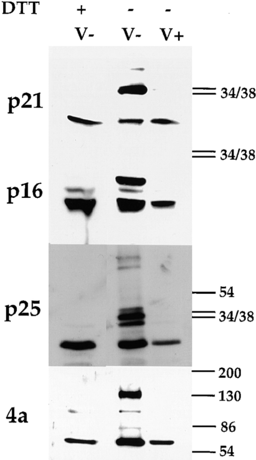 The proteins from viruses  isolated from DTT-treated cells are  not disulfide bonded. Infected HeLa  cells were treated (DTT +) or not  (DTT −) with 5mM DTT from 4 h  after infection and the medium replaced each hour as described in the  Results. 9 h after infection, virions  were isolated from the cells as described in Materials and Methods.  Isolated virions were analyzed on  10% SDS-PAGE and the viral proteins p21, p16, 4a, and p25 were detected by Western blotting. Virions  isolated from untreated cells (V−)  were analyzed after boiling in sample  buffer with (DTT +) or without  (DTT −) 5% β-ME and 100 mM DTT, while virions isolated  from treated (V +) cells were only analyzed after boiling in sample buffer without (DTT −) these reducing agents. On the right  the positions of the 34-, 38-, 54-, 84-, 116-, and 180-kD marker  proteins are indicated.