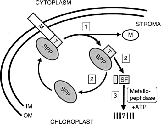 Schematic representation of transit peptide removal and turnover in the chloroplast. Step 1, A precursor entering the stroma with its NH2-terminal transit peptide first is recognized by SPP. A single endoproteolytic cleavage by SPP releases the mature protein. The transit peptide remains bound by SPP. Step 2, SPP releases the transit peptide by its conversion to a subfragment. The regenerated SPP is free for a new enzyme–substrate interaction. Step 3, The liberated subfragment is degraded by an ATP-dependent, soluble metallopeptidase.