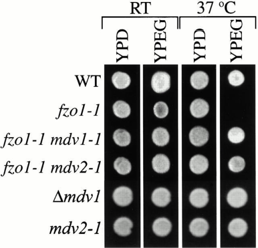 Mutations in MDV genes suppress the loss of mtDNA in fzo1-1 cells. Indicated strains were plated onto YPD and YPG and grown at 25 and 37°C.