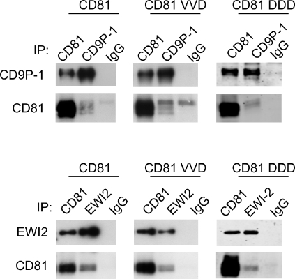 The VVD (135–137)→AAA and DDD (137–139)→AAA mutants unable to support infection by P. yoelii sporozoites interact with CD9P-1 and EWI-2.CHO cells were transiently transfected with WT or mutant CD81 plasmids (in pEGFP-N3), together with a CD9P-1 (top) or a EWI-2 (bottom) cDNA. After 48 h, the cells were lysed with digitonin and immunoprecipitations with antibodies against CD81, CD9P-1 and EWI-2 were performed. After electrophoresis and transfer, the membranes were incubated with biotin-labelled mAbs to CD81 (TS81), CD9P-1 (1F11) and EWI-2 (8A12). The mutants are designed as follows: VVD: VVD (135–137)→AAA; DDD: DDD (137–139)→AAA