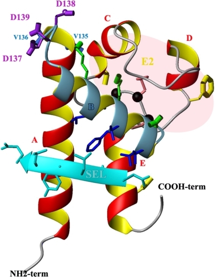 3D structure of CD81 LEL.The drawing of CD81 LEL (PDB #1g8q) was generated in MolMol. Four helices (A, C, D, E) are drawn in red while the B helix, crucial for P. yoelii infection is displayed in blue. The black balls indicate the CCG ubiquitous motif. The crucial D137 as well as D138 and D139 are in purple while V135 and V136 are in royal blue. Residues V146, T149, F150, T153 and L154 putatively involved in contact with the SEL are indicated in dark blue. T163, F186 and D196 residues, in yellow, have been reported to play a role in the HCV E2 glycoprotein binding to CD81-LEL. Residues V135, V136, T163, F186 and D196 projected backward, behind the drawing plane. The two disulfides bridges are colored light coral. Hydrophilic residues K144, K148 and E152 located on the top of the B helix are in green. The SEL, in cyan, is in front of the drawing plane.
