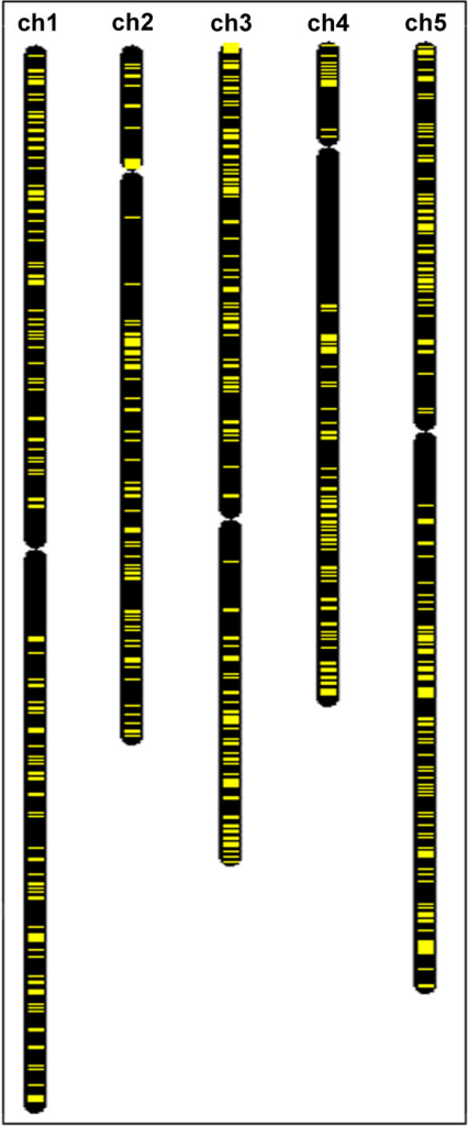 Coexpressed neighboring genes are absent from the region of long arm of chromosome 4. Distribution of the coexpressed neighboring genes (marked in yellow) on five Arabidopsis chromosomes (visualized in Chromosome Map Tool, [126,115]). Domains of coexpressed neighbors are absent from large part of the long arm of chromosome 4, adjacent to the pericentromeric region, and very rare in the analogous area of chromosome 2.