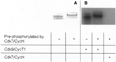 Cdk9 activity on CTD and pSer5-CTD. (A) CTD and pSer5-CTD were loaded on SDS–PAGE. Phosphorylation by Cdk7/CycH shifts the CTD band upwards. (B) Kinase assay. Cdk9/CycT1 phosphorylates equally well CTD and pSer5-CTD (generated by previous incubation with Cdk7/CycH). No further incorporation of 32P could be detected incubating pSer5-CTD with Cdk7/CycH indicating that the previous reaction went to completeness.