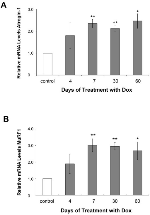 Real-time PCR analysis of Atrogin-1 and MuRF1. qRT-PCR analysis of Atrogin-1 (A) and MuRF1 (B) gene expression in RNA samples from Tg(HQK) mice relative to similarly treated wild-type control mice. Measurements of relative gene expression for 4 time points (over 4–60 days) in mice following treatment with 6 g Dox/kg food beginning on day 0. Total RNA was extracted from skeletal muscles (quadriceps) from the hind legs and subjected qRT-PCR analysis. Results represent the mean ± s.e.m. of triplicate measurements performed. * p < 0.01; ** p < 0.001.