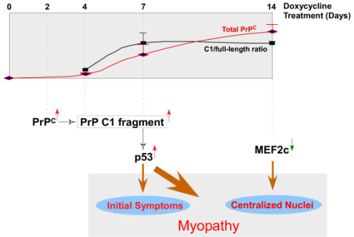 Mechanism of PrP-mediated myopathy. Accumulation of an N-terminal truncated PrP C1 fragment in muscle activates p53 resulting in the induction of p53-regulated pro-apoptotic networks and myopathic changes. PrPC over-expression also results in down-regulation of MEF2C, which may be partially responsible for the progressive central nuclei localization observed in the muscles of Dox-treated Tg(HQK) mice.