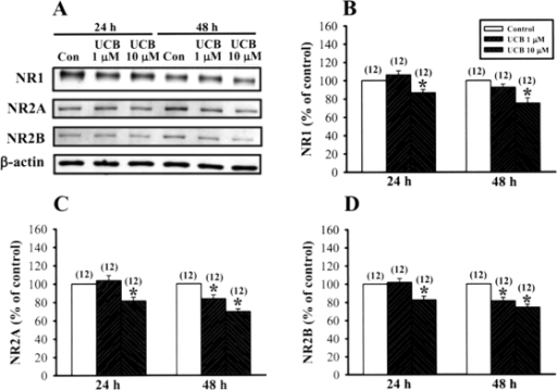 Prolonged UCB exposure decreases the protein levels of NMDA NR1, NR2A and NR2B subunits in rat organotypic slice cultures.(A) Representative immunoblots showing 10 µM UCB treatment for 48 h decreases NR1, NR2A and NR2B subunit expression in the hippocampal CA1 homogenate fractions. (B–D) Corresponding densitometric analysis showing the relative levels of NR1 (B), NR2A (C), and NR2B (D) subunits similar to those shown in (A). Number of experiments is indicated in the parenthesis. Error bars indicate SEM. *p<0.05 as compared with the control group by unpaired Student's t-test.