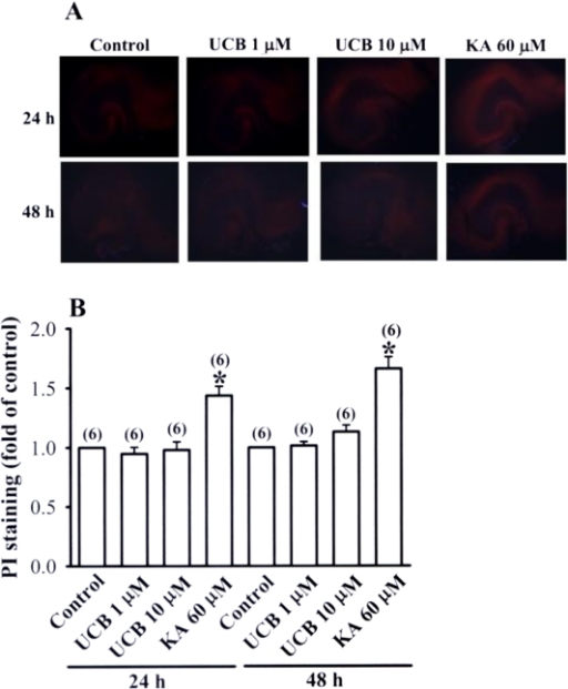 Effects of prolonged UCB exposure on propidium iodide (PI) staining in hippocampal slice cultures.(A) Representative images of PI staining in slices from control or treatment with UCB (1 µM or 10 µM) or kainic acid (60 µM) for 24 or 48 h. (B) Densitometry quantification of PI staining similar to those shown in (A). Data are expressed as fold of increase over the respective control group. Number of experiments is indicated in the parenthesis.