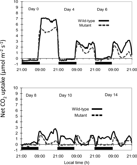 Day/night profiles of net CO2 exchange for leaves of wild-type (solid line) and CAM-deficient mutant (dashed line) plants of Mesembryanthemum crystallinum grown under control conditions (day 0) and after 4, 6, 8, 10, and 14 d of treatment with 300 mM NaCl in hydroponics. The solid bars on the x-axes represent the periods of darkness and each gas exchange profile is for a representative leaf from three replicate determinations.
