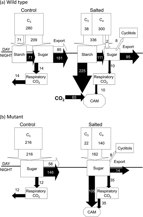The 24 h net carbon budgets for leaves of wild-type and CAM-deficient mutants of M. crystallinum showing partitioning of carbon skeletons derived from C3 and C4 carboxylation between different carbohydrate pools, export, dark respiration, and CAM in control plants and after exposure to 300 mM NaCl for 14 d. The source of carbon in the leaf during the day is C3 (daytime photosynthesis) or C4 (from breakdown of malate over a 12 h photoperiod with 1 mol malate=4 mol C). Export includes growth/maintenance, and fluxes shown in the white (open) arrows are daytime processes, while those in black (solid) arrows are night-time processes. All numbers presented on the budgets are mmol C m−2 d−1.