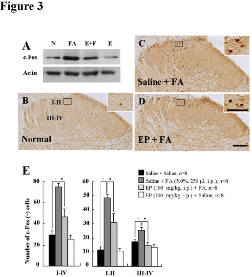 Phosphorylation of ERK1/2 in the DH of spinal cord (L4-L5) after saline or EP pretreatment.(A) Western blots from spinal DH. N, normal. FA, saline-pretreated and formalin- treated rats, FA + EP, EP-pretreated and formalin-treated rats. E, EP alone. (B-D) Photomicrographs showing c-Fos expression in the spinal DH from normal rats (B), saline-pretreated and formalin-treated rats (C), EP-pretreated and formalin-treated rats (D). The number enhancement of p-ERK-IR cells produced by formalin was clearly decreased in both the superficial lamina (I-II) and deep lamina (III-IV) by EP-pretreatment. Insets are high magnification of the open rectangles. Scale bar = 100 μm. (E) The number of p-ERK-IR cells in spinal DH following EP preinjection. The enhancement in the number of p-ERK positive cells produced by formalin was significantly decreased in spinal DH by EP pre-administration. The mean number of p-ERK positive cells was calculated by averaging the total numbers per each region. Values are expressed as mean ± SEM. +P < 0.01 vs. normal rats (saline-pretreated and saline-treated); *P < 0.01 vs. control rats (saline-pretreated and formalin-treated).