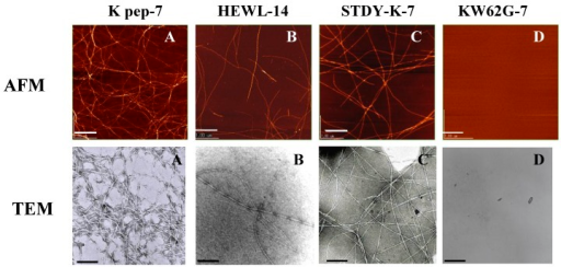 AFM and TEM images of the K peptide in comparison with other substances. A (K pep-7), the K peptide incubated for 7 days at pH 4.0; B (HEWL-14), HEWL incubated for 14 days at pH 2.0; C (STDY-K-7), the STDY-K peptide incubated for 7 days at pH 2.0; D (KW62G-7), GILQINSRG (the W-substituted K peptide) incubated for 7 days at pH 2.0. The concentration of each peptide and HEWL during analysis was 2 mg/ml (cf. Materials and Methods).