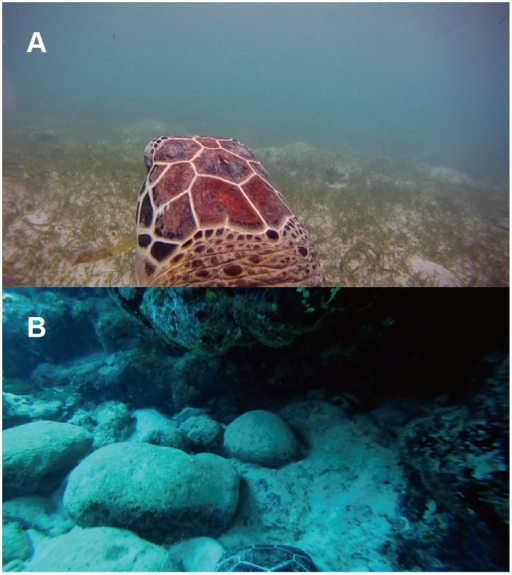 Video images of typical behaviour by the immature green turtles.(A) Feeding behaviour of CM8 on seagrass in shallow water and (B) resting behaviour of CM4 under the reef ledge. Video clips from which the images were taken are available in the Movie S1 and S2, which is available online.