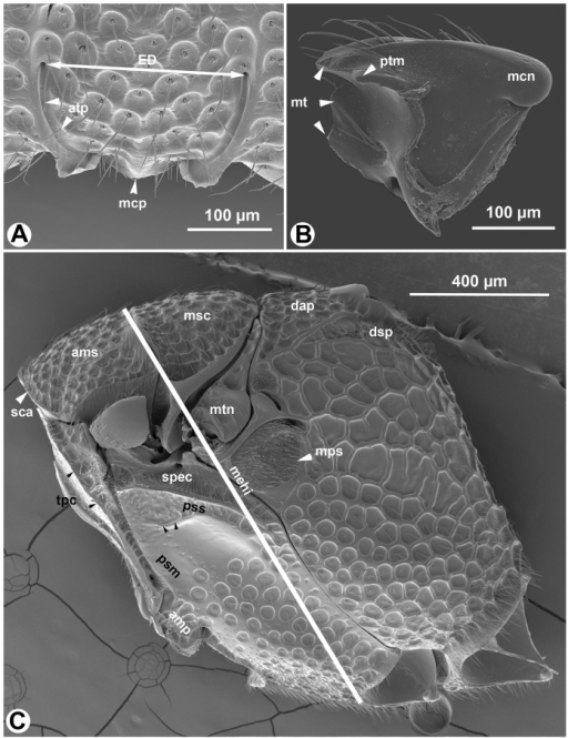 SEM micrographs of Afrevania longipetiolata sp. nov.A: Anteroventral region of the face, anterior view, dorsal to the top. B: mandible, posterior view, distal to the left. C: Mesosoma, lateral view, anterior to the left.