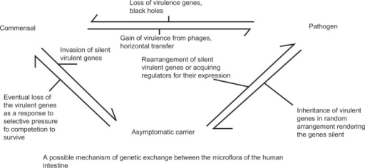 Possible mechanism of genetic exchange between the microflora of the human intestine. Gut is the best anatomical niche in humans where commensals, asymptomatic carriers and symptomatic pathogens sustain and survive well. It is assumed that either certain commensals gain virulence by horizontal gene transfer and turn into pathogens, or pathogenic counterparts lose the traits required to become commensals. Likely, an asymptomatic carrier evolved either from commensal or pathogens by different mechanisms to survive better in the host system, maybe by gene silencing or gene augmenting. It is assumed that the order of evolution occurred from commensals to asymptomatic pathogens to pathogens, or vice versa.