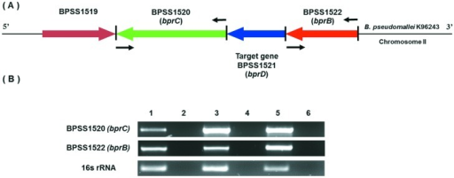 Schematic diagram of the B. pseudomallei K96243 bprD gene and agarose gel of RT-PCR products.Schematic diagram of the genomic organization of the B. pseudomallei K96243 region containing bprD (A), and RT-PCR analysis of expression of genes in this region (B). The arrows show the position and direction of genes. The positions of RT-PCR primers are indicated by black arrows. Lane 1, RT-PCR product from B. pseudomallei K96243 wild-type cDNA; lane 2, negative control for wild-type or DNase-treated wild-type RNA (to evaluate contamination of wild-type RNA with gDNA); lane 3, B. pseudomallei K96243 bprD mutant cDNA; lane 4, negative control for mutant or DNase-treated bprD mutant RNA (to evaluate contamination of mutant RNA with gDNA); lane 5, B. pseudomallei K96243 wild-type genomic DNA control; and lane 5, No DNA control.