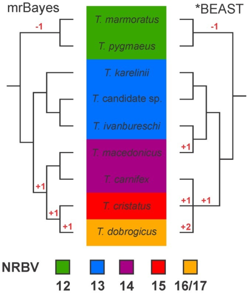 Previously argued phylogenetic hypotheses for the genus Triturus.Background colors reflect the variation in the number of rib-bearing pre-sacral vertebrae (NRBV) characterizing the five Triturus morphotypes. The two species with a green background are marbled newts and the remaining species are crested newts. The MrBayes phylogeny (left) is based on full mitochondrial genomes [19]. Posterior probabilities for all internal branches are 0.95 or higher. Note that this phylogeny is concordant with the most parsimonious interpretation of the evolution of the number of rib-bearing pre-sacral vertebrae (with the required character state changes noted in red). The *BEAST coalescent-based estimation of the species tree (right) is based on three nuclear introns (adapted from [20]). Posterior probabilities for internal branches are all below 0.95 and only those supported at over 0.75 are shown.