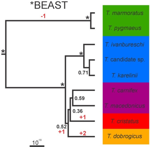 Species trees resulting from the coalescent-based estimation in *BEAST for the genus Triturus, based on 38 nuclear markers positioned in 3′ untranslated regions, sequenced for 20 individuals.Internal branches supported with pp = 1.0 are marked with an asterisk. The inferred position of the root for Triturus is shown. Background colors reflect variation in the number of rib-bearing pre-sacral vertebrae characterizing Triturus morphotypes as in Fig. 1 and the character stage changes required are noted in red.