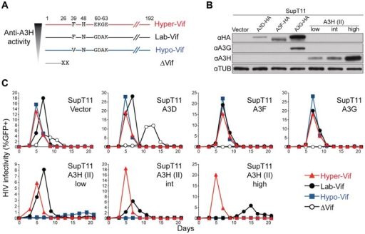 Generation and validation of HIV-1 Vif separation-of-function molecular/viral probes.A) A schematic of the Vif protein encoded by each HIV-1 molecular clone showing amino acid differences responsible for the hyper- and hypo-Vif functionality relative to lab-Vif (HIV-1 IIIB/NL4-3) against stable A3H haplotype II. B) Immunoblots showing the expression levels of the indicated A3 proteins stably expressed in SupT11 cells. In this experiment untagged A3H is detected with the mouse monoclonal antibody P3A3-A10. C) HIV-1 spreading infection kinetics for the indicated viruses on A3-expressing SupT11 cells lines described in panel B. The hyper-, lab-, and hypo-Vif isolates spread with similar kinetics on cells expressing a control vector, A3D, A3F, or A3G, but showed clear phenotypic differences on cells expressing low, intermediate (int), and high levels of stable A3H haplotype II. Delta-Vif virus replication was evident in control vector expressing SupT11 cells, delayed in A3D expressing cells, and suppressed under all other conditions (some symbols eclipsed).