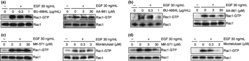 5-lipoxygenase (5-LOX) inhibitors and cysteinyl leukotriene receptor 1 (CysLT1) antagonists inhibit the second epidermal growth factor (EGF)-induced wave of Rac1 activation. The effect of 5-LOX inhibitors (a, b) and CysLT1 antagonists (c, d) on EGF-induced Rac1 activation. A431 cells were pretreated with the indicated concentrations of compounds for 15 min and stimulated with EGF. After 5 min (first wave; a, c) or 12 h (second wave; b, d), the cells were examined for active Rac1 by pull-down assay.