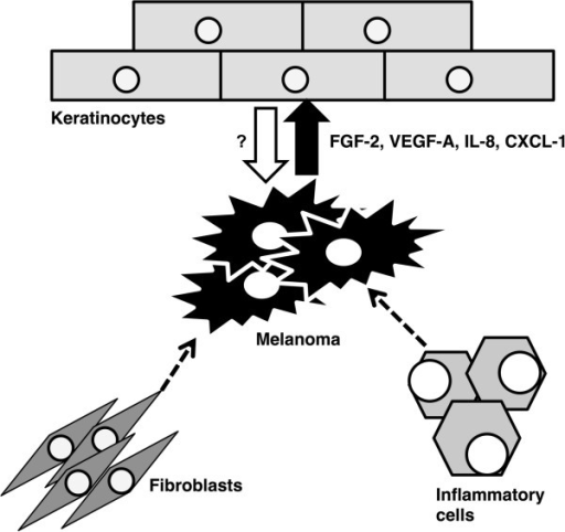 Melanoma cell activity is in addition to other factors dependent on the activity of tumor infiltrating inflammatory cells and fibroblasts. The melanoma cells are able to influence the differentiation pattern of keratinocytes by production of FGF-2, VEGF-A, IL-8, and CXCL-1. The reciprocal activity of keratinocytes to melanoma cells needs further research.