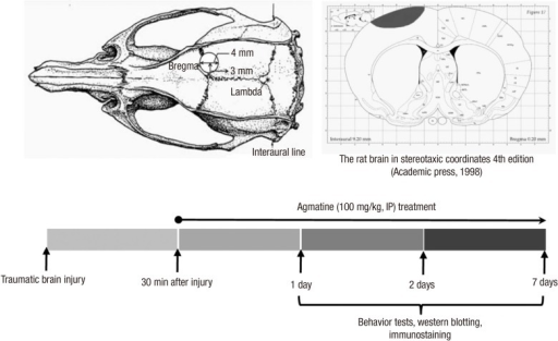 Dorsal And Coronal Views Of The Rat Skull And Experimen Open I