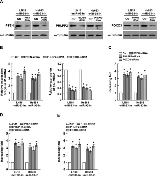 Suppression of PHLPP2, FOXO3, and PTEN by miR-93 is essential for glioma cell proliferation(A) Western blotting analysis of the protein levels of PTEN, PHLPP2 and FOXO3 in indicated cells transfected with specific siRNA, respectively. (B) The mRNA expression levels of Cyclin D1 and p27Kip1, determined by real-time PCR analysis. (C) Quantification of colonies determined by colony formation assay in indicated glioma cell lines. (D) Quantification of colonies determined by anchorage-independent growth ability assay in indicated glioma cell lines. (E) Quantification of BrdUrd incorporating-cells in indicated glioma cell lines. Experiments were repeated at least 3 times with similar results, and error bars represent ± SD. *P < 0.05.
