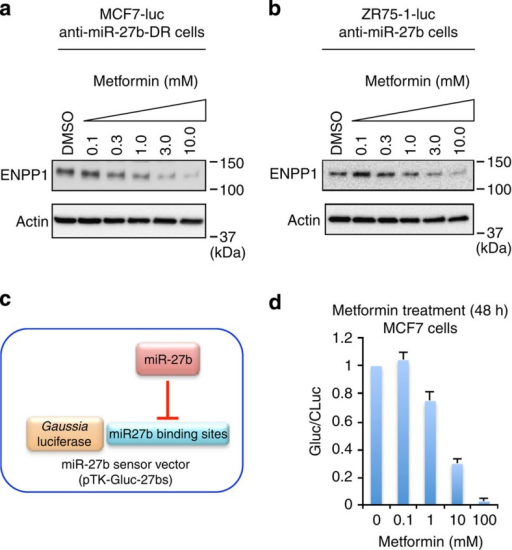 Metformin induces miR-27b-mediated suppression of ENPP1.(a,b) Immunoblot analyses of ENPP1 expression in MCF7-luc anti-miR-27b-DR (a) and ZR75-1-luc anti-miR-27b (b) cells incubated with metformin (0.1–10 mM) for 72 h. β-Actin was used as a loading control. (c) A schematic illustration of the miR-27b sensor construct used in the experiment shown in d. (d) Luciferase activity in MCF7 cells co-transfected with pTK-GLuc-27bs (50 ng) and pSV40-CLuc (50 ng), and then incubated with metformin for 48 h. The ratio of Gaussia to Cypridina luciferase activity (GLuc/CLuc) was determined. Data are represented as the mean±s.d. of n=3 replicates.