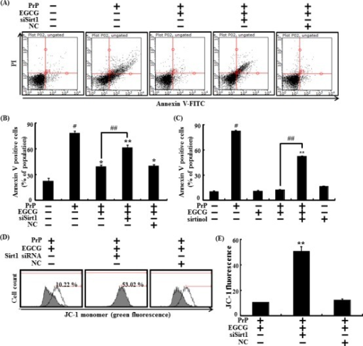 EGCG prevents neuronal cells from PrP (106-126)-induced cell death through the sirt1 pathwaySirt1 small interfering RNA (siSirt1) or negative control siRNA (NC) transfected SH-SY5Y cells were incubated with 50 μM PrP (106-126) for 36 hr in the presence of EGCG. Cell viability was measured by Annexin V assay A, B. SH-SY5Y cells were pretreated with sirtinol (10 μM) and EGCG (10 μM) for 1 h and then exposed to 50 μM PrP (106-126) for 36 hr. Cell viability was measured by Annexin V assay C. The cells were measured for JC-1 mono form (green) by flow cytometry. M1 represents the population of JC-1 monomeric cells D, E. Bars indicates mean ± standard error (n = 4). *p < 0.05, **p < 0.01, #p < 0.001 significant differences between control and each treatment group, and ##p < 0.01; significantly different when compared with PrP (106-126)-treated group.