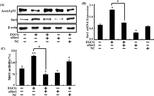 Inhibiting sirt1 decreased the sirt1 increase caused by EGCGSirt1 small interfering RNA (siSirt1) or negative control siRNA (NC) transfected SH-SY5Y cells were incubated with EGCG (10 μM) for 30 hr. Western blot for sirt1 and acetyl-p53 proteins was conducted from SH-SY5Y cells. β-actin was used as the loading control A. Relative sirt1 mRNA expression levels were analyzed using quantitative real-time polymerase chain reaction. The indicated relative gene expression level shows expression levels that were normalized to β-actin expression as the standard B. siSirt1 or NC transfected SH-SY5Y cells were pre-incubated with EGCG (10 μM) for 1 hr and then exposed to PrP (106-126) for 30 hr. Sirt1 deacetylase activities were analyzed in SH-SY5Y cell nuclei. C. Bars indicate mean ± standard error (n = 4). *p < 0.05, **p < 0.01, significant differences between control and each treatment group, and #p < 0.01; significantly different when compared with PrP (106-126)-treated group.