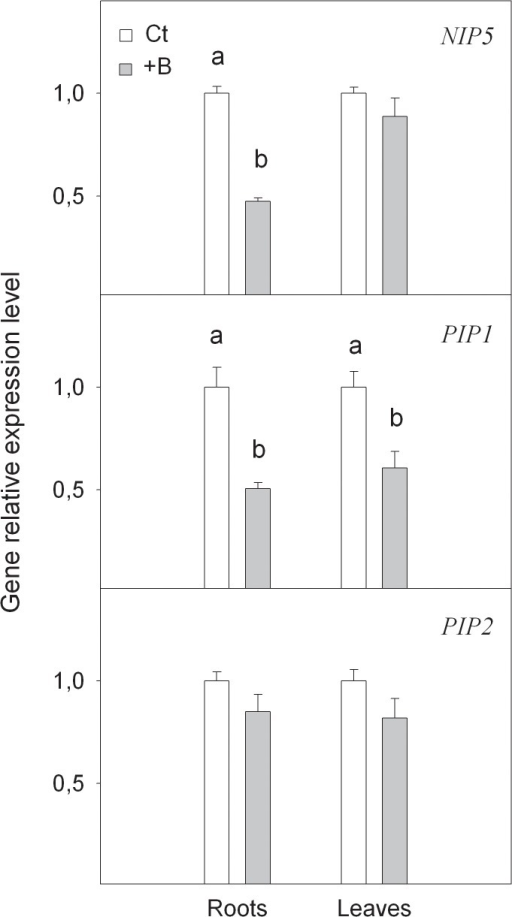Relative expression of NIP5, PIP1 and PIP2 genes measured by real-time RT-PCR analysis, in roots and leaves of Citrus macrophylla seedlings grown for 25 days in B-normal (50 μM, Ct) and B-toxic (400 μM, +B) nutrient solutions.Values are the means ± SE of three independent experiments (n = 3). For a comparison of means, an ANOVA followed by the LSD test, calculated at 95% confidence level, was performed. Different letters in the same organ indicate significant differences between treatments (P <0.05).