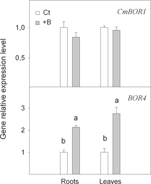 Relative expression of CmBOR1 and BOR4 genes measured by real-time RT-PCR analysis, in roots and leaves of Citrus macrophylla seedlings grown for 25 days in B-normal (50 μM, Ct) and B-toxic (400 μM, +B) nutrient solutions.Values are the means ± SE of three independent experiments (n = 3). For a comparison of means, an ANOVA followed by the LSD test, calculated at 95% confidence level, was performed. Different letters in the same organ indicate significant differences between treatments (P <0.05).
