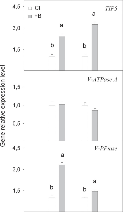 Relative expression of TIP5, V-PPiase and V-ATPase A genes measured by real-time RT-PCR analysis, in roots and leaves of Citrus macrophylla seedlings grown for 25 days in B-normal (50 μM, Ct) and B-toxic (400 μM, +B) nutrient solutions.Values are the means ± SE of three independent experiments (n = 3). For a comparison of means, an ANOVA followed by the LSD test, calculated at 95% confidence level, was performed. Different letters in the same organ indicate significant differences between treatments (P <0.05).