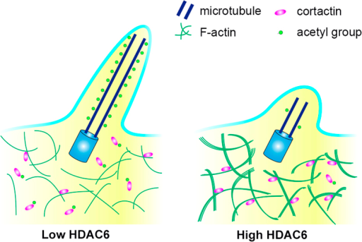 Molecular model for the role of HDAC6 in ciliary disassembly.HDAC6-mediated ciliary disassembly is dependent on the deacetylation of both α-tubulin and cortactin; deacetylation of α-tubulin reduces the stability of axoneme microtubules, whereas deacetylation of cortactin promotes its interaction with F-actin and accelerates actin polymerization, which in turn leads to ciliary resorption.
