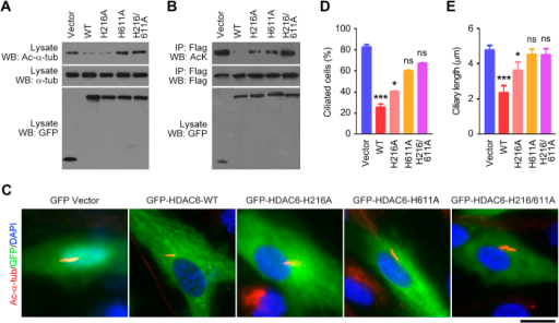 Mutation of the deacetylase domain of HDAC6 abolishes its activities to deacetylate α-tubulin and cortactin and to induce ciliary disassembly.(A) Western blot analysis of acetylated α-tubulin, α-tubulin, and GFP in RPE1 cells transfected with GFP vector or GFP-HDAC6 wild-type (WT), H216A, H611A, or H216/611A. (B) RPE1 cells were transfected with Flag-cortactin and GFP vector or GFP-HDAC6 WT, H216A, H611A, or H216/611A. The anti-Flag immunoprecipitate was then probed with acetylated lysine and Flag antibodies, and the cell lysate was probed with GFP antibody. (C–E) Immunofluorescence images (C), percentage of ciliated cells (D), and ciliary length (E) in RPE1 cells transfected with GFP vector or GFP-HDAC6 WT, H216A, H611A, or H216/611A, serum-starved for 24 hours, and stained with acetylated α-tubulin antibody and DAPI. Scale bar, 5 μm. *P < 0.05, ***P < 0.001; ns, not significant. Error bars indicate SEM.