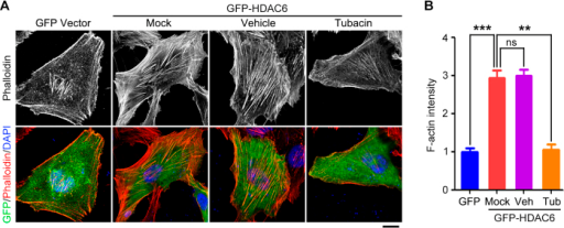 HDAC6 stimulates actin polymerization.(A) Immunofluorescence images of RPE-1 cells transfected with GFP vector or GFP-HDAC6, untreated or treated with tubacin (2 μM) or vehicle control, serum-starved for 24 hours, and stained with phalloidin and DAPI. Scale bar, 5 μm. (B) Experiments were performed as in A, and F-actin intensity was quantified. **P < 0.01, ***P < 0.001; ns, not significant. Error bars indicate SEM.