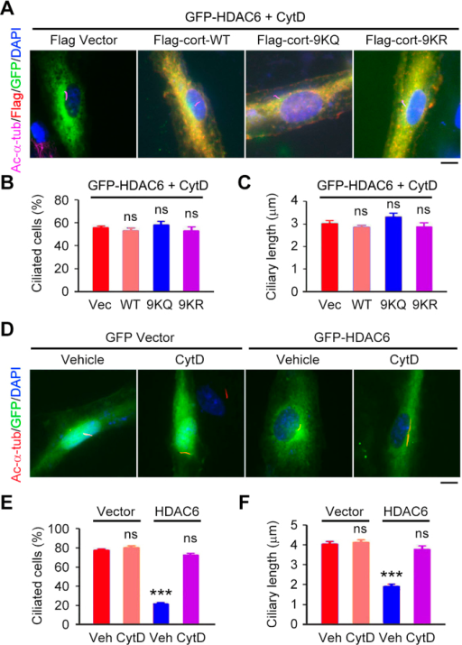 Inhibition of actin polymerization abrogates HDAC6-mediated ciliary disassembly.(A–C) Immunofluorescence images (A), percentage of ciliated cells (B), and ciliary length (C) in RPE1 cells transfected with GFP-HDAC6 and Flag vector or Flag-cortactin wild-type (WT), 9KQ, or 9KR, starved in serum-free medium with cytochalasin D (CytD, 5 mM) for 24 hours, and stained with acetylated α-tubulin and Flag antibodies and DAPI. Scale bar, 5 μm. (D–F) Immunofluorescence images (D), percentage of ciliated cells (E), and ciliary length (F) in RPE1 cells transfected with GFP vector or GFP-HDAC6, starved in serum-free medium with cytochalasin D (5 mM) or vehicle control for 24 hours, and stained with acetylated α-tubulin antibody and DAPI. Scale bar, 5 μm. ***P < 0.001; ns, not significant. Error bars indicate SEM.