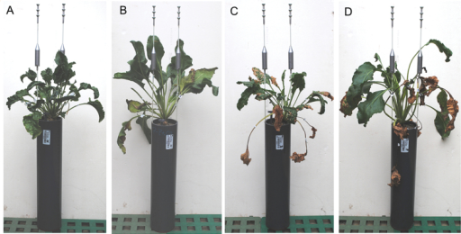 Images of HS and LS sugar beet plants, inoculated or not inoculated with C. beticola. Non-inoculated treatment of the HS (A) and LS (B) genotype, and inoculated treatment of the HS (C) and LS (D) genotype. For plant cultivation, plants were grown in PVC pots of 40cm depth to allow deeper root growth. Each pot was labelled with an individual code (white labels) to match measurements to plants. Images were acquired shortly before harvest at 90 dpi.