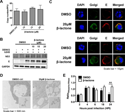 DENV2 egress is dependent on proteasome function.(A) Ratio of viral genomic RNA from cell culture supernatant to infectious DENV2 showed no significant differences after β-lactone treatment at different drug concentrations, compared to DMSO control, suggesting that the treatment with β-lactone did not result in reduced DENV2 maturation. Mean ± SD. N = 4. (B) A dose-dependent accumulation of E protein in cells is observed with no difference in the levels of NS3 at 24 hpi. (C) Confocal analysis showed accumulation of structural proteins (prM and E, in red) in β-lactone treated compared to DMSO treated cells at 24 hpi with strong co-localization with Golgi (in green), suggesting that egress of viral particles were impaired in presence of UPP inhibition (Scale bar = 10 μm). (D) Accumulation of viral particles in intra-cytoplasmic vacuoles (50 nm) in β-lactone compared to DMSO treated cells was observed using electron microscopy, indicating that DENV2 RNA could replicate and be packaged with structural proteins (Scale bar = 500 nm). (E) Ratio of RNase to non-RNase treated cells after β-lactone treatment is significantly higher compared to the DMSO control 24 hpi. Mean ± SD. N = 4. Student's t test, **p<0.01.