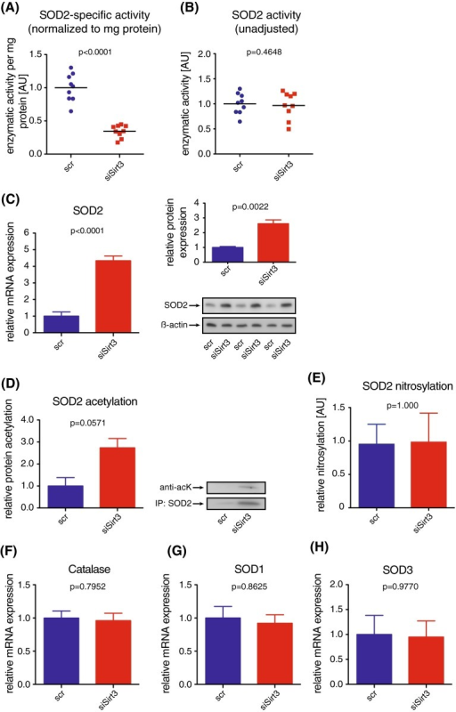 Loss of Sirt3 decreases endothelial SOD2 activity and increases SOD2 expression without affecting other ROS-scavenging or generating systems. a Superoxide dismutase 2 (SOD2) activity based on superoxide dismutating capacity in HAEC following siRNA-mediated knockdown of Sirt3; enzymatic activity was normalized to SOD2 protein expression; medians and single data points are shown. b Overall SOD2 activity, as in a without normalizing to protein content. c SOD2 mRNA (left) and protein (right) expression in HAEC following siRNA-mediated knockdown of Sirt3 using quantitative PCR and western blot, respectively. d Acetylation of SOD2, precipitated from HAEC following transient knockdown of Sirt3 using western blot analysis. e Nitrosylation of SOD2, precipitated from HAEC following transient knockdown of Sirt3 using western blot analysis. f–h Expression analyses of f catalase, g SOD1, h SOD3, using quantitative PCR; beta actin served as loading control in western blots, representative blots are shown. At least three independent experiments in biological triplicates were performed, scr scrambled control