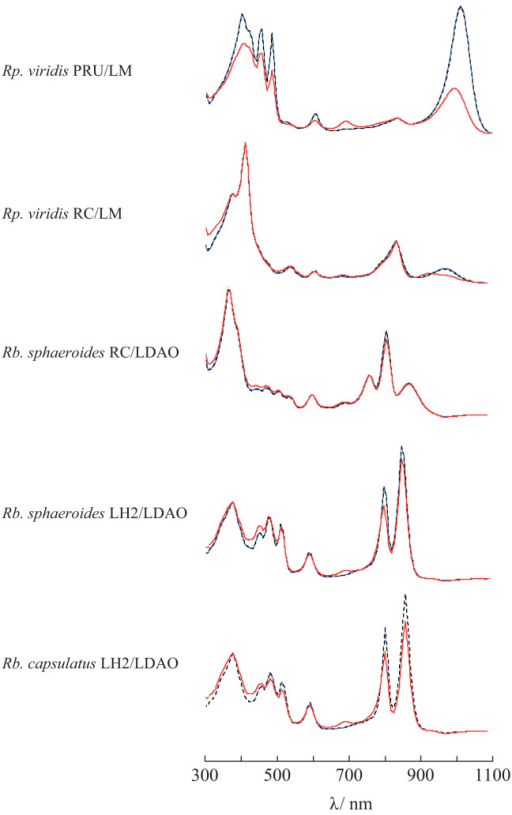 Absorption spectra of integral membrane proteins from photosynthetic bacteria stored at 20 °C in darkness in the presence of NaCl/PEG mixture. The examined proteins were Rp. viridis PRU and RC, Rb. sphaeroides RC and LH2, and Rb. capsulatus LH2. The spectra of each protein were measured for the purified sample (blue line) and the supernatants within 1 h (black dotted line) and in 14–35 days (red line) after the mixture addition. The longer duration was 14, 15, 21 35 and 28 days for Rp. viridis PRU and RC, Rb. sphaeroides RC and LH2, and Rb. capsulatus LH2, respectively. The spectra were measured for protein solutions diluted by detergent-containing buffer solution (25 mM Tris–HCl and 300 mM NaCl; pH 8.0) of which the maximum absorbance was below 2. The spectra exhibited were scaled so as to fit their base lines to one another. The PEG concentration in the original supernatant was 62.5 mg/mL for Rp. viridis PRU/LM, 70 mg/mL for Rp. viridis RC/LM, 160 mg/mL for Rb. sphaeroides RC/LDAO, 150 mg/mL for Rb. sphaeroides LH2/LDAO, and 150 mg/mL for Rb. capsulatus LH2/LDAO. The concentration of LM and LDAO was 1 mg/mL.