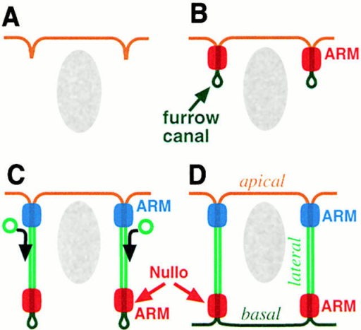 Establishment of polarity is tightly coupled to cellularization in Drosophila embryos. The temporal order of membrane insertion is translated into spatial differences by the isolation of different membrane domains from the main site of insertion (Hunter and Wieschaus 2000; Lecuit and Wieschaus 2000). (A) Shortly after the initial stage of cellularization, (B) a first set of junctional complexes, marked by ARM, is formed just below the embryonic cell surface. These complexes seal off the most basal membrane domain that forms the furrow canals. (C) As cellularization proceeds, the initial set (red) of junctions move basally together with the furrow canals. A second set of junctions (blue) is formed just below the cell surface and separates the apical and lateral domains. Membrane insertion basal to these junctions continues to extend the lateral domain. (D) The furrow canals will form the basal membrane domains and shortly thereafter, as the embryo initiates gastrulation, the unusual basal junctions disappear.