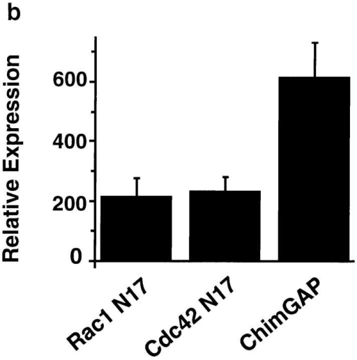Induction of expression of Myc-tagged fusion proteins in stable RAW cell transfectants. (a) 106 RAW cells  (derived from a clone of RAW  LacR/FMLPR.2 cells transfected  with Myc-tagged Chimaerin-GAP) were incubated for 0, 5, or  15 h in the presence or absence of  10 mM IPTG, 50 μM zinc, and  2 mM butyrate. Cells were subjected to detergent lysis, SDS-PAGE, and immunoblotting  with either anti-Myc or antiactin  mAbs. Lanes 1 and 4, uninduced; lanes 2 and 3, induced  with IPTG only; lanes 5 and 6,  induced with IPTG, butyrate,  and zinc. (b) Average levels of  expression of Myc-tagged fusion  proteins in individual cells. Induction of protein expression  was performed as described in  Materials and Methods and cells were fixed and stained with anti-Myc  mAb and processed for microspectrofluorometry. Expression levels are  shown in arbitrary fluorescence units. Nonspecific fluorescence (i.e., of  uninduced cells or untransfected cells) was <10% of the total fluorescence signal. Data are expressed as the mean fluorescence (± SEM) of  150–200 Myc-positive cells and represent all Myc-positive cells observed  in 5–10 high power fields from three separate experiments.