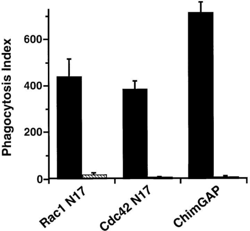 Expression of Myc-tagged Rac1 N17, Cdc42 N17,  or Chimaerin-GAP inhibits  FcγR-mediated phagocytosis.  Striped bars, Myc-expressing cells;  solid bars, controls, which are derived from the same clones but  did not express the Myc epitope  by indirect immunofluorescence.  Phagocytosis indices of cells incubated in the absence of IPTG,  zinc, and butyrate were indistinguishable from cells that were incubated with these agents but did not express Myc. Data are expressed as the  mean ± SEM, n = 3. The reduction of phagocytosis by Rac1 N17,  Cdc42 N17, or Chimaerin-GAP was statistically significant (P <0.005).