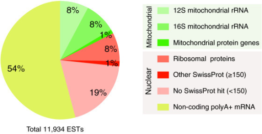 Overall composition of the EST collection. The annotation of transcripts is based on SwissProt (score >150) and led to identification of mitochondrial genes. The conceptual translation of ESTs allowed detection of those that include coding sequences. The large portion of non-coding polyadenylate nuclear transcripts and RPs among nuclear transcripts is the most prominent aspect of this distribution as well as the unexpected presence of mitochondrial rRNAs (12 and 16S) related to their polyadenine stretches.