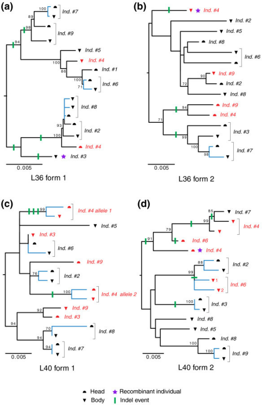Relationships between haplotypes of nine individuals, including distinct head and body sequences for four marker genes, including two pairs of paralogous sequences: (a) L36 form 1; (b) L36 form 2; (c) L40 form 1; (d) L40 form 2. The indels are plotted onto the branches (green lines). Noticeably, some individuals display mixed sequences from different haplotypes, which is explained by recombination events between alleles (purple star). The substitutions occurring between copies of the same allele in the head and body of individuals (blue branches) are assumed to be somatic mutations. These neighbor-joining trees were inferred assuming kimura 2 parameter distances from Additional data files 7-10. Boostrap proportions are indicated for selected nodes.