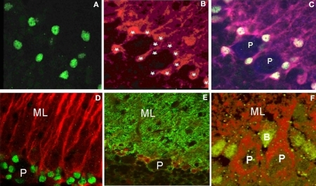 Panels (A) and (B) are fluorescently labeled images from 15-day-old cerebellum using cleaved caspase-3 and S-100b immunohistochemistry visualized with Alexa 488 and Alexa 546, respectively. It is apparent that caspase-3 labels the nuclei of Bergmann glia. Asterisks identify the Bergmann glia in which approximately 60% contain cleaved caspase-3 immunoreactivity. Panel (C) is the triple labeled fluorescent image of caspase-3 (Alexa 488), S-100b (Alexa 546) and calbindin (Alexa 633) to identify and quantitate the total number of Bergmann glia within each lobule at the different ages, surrounding the Purkinje neurons. Panel (D) is a double labeled image using cleaved caspase-3 and GFAP immunoreactivity (visualized with Alexa 488 (green) and Alexa 546 (red), respectively). In Panel (E) cells are double labeled with S-100b (red fluorescence) and Glast (green fluorescence), two markers of Bergmann glia, respectively, to further verify the presence of caspase-3 in the nuclei of Bergmann glia surrounding Purkinje neurons obtained from 15-day-old cerebellum. Panel (F) is a modified image of an original cleaved caspase-3 labeling visualized with green wavelength using a Alexa 488 fluorescent dye coupled with an auto-fluorescent label of the tissue at the red wavelength (594 nm), showing the location of immunoreactive cells within the Purkinje cell layer in a 21-day-old cerebellum. P – Purkinje cell; B – Bergmann glia; ML – molecular layer.