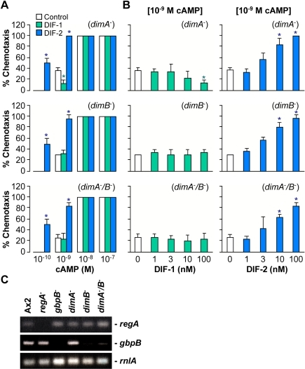 Effects of DIF-1 and DIF-2 on chemotaxis in Dim mutants.(A) Starved (for 6 h) dimA-, dimB-, and dimA-/B- cells were spotted on PB agar containing 3 mM caffeine (Control) plus 100 nM DIF-1 or DIF-2 and assayed for chemotaxis toward the indicated doses of cAMP. Data are the mean and s.d. (bars) of three independent experiments (n = 3). (B) Starved dimA-, dimB-, and dimA-/B- cells were spotted on PB agar containing 3 mM caffeine plus the indicated concentrations of DIF-1 or DIF-2 and assayed for chemotaxis toward the doses of cAMP indicated above in square brackets. Data are the mean and s.d. (bars) of three independent experiments (n = 3). *P<0.05, as compared with Control. (C) Expression levels of regA and gbpB. Cells were starved for 6 h, and RNAs collected from the cells were used for semi-quantitative RT-PCR to detect regA, gbpB, and rnlA (internal control).